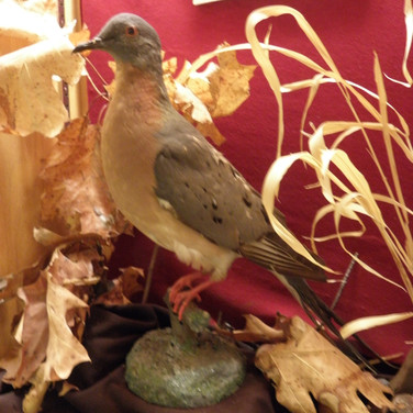 Extinct Passenger Pigeon at the Redpath Museum