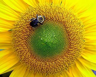 Sunflower & Bee 16 x 20.jpg