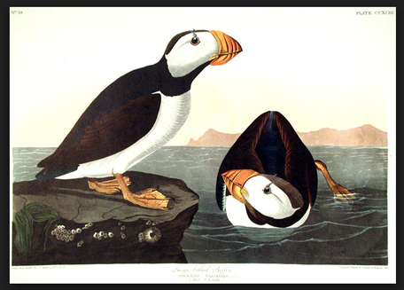jj audubon large billed puffin.PNG.png