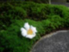 夏椿.JPG