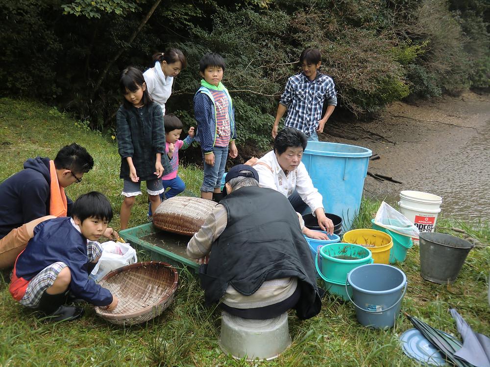 松ヶ浦堤で錦鯉を捕獲の副産物としてエビ取りを行う