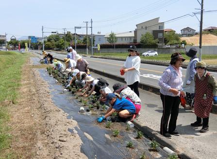 令和1年5月25日(土) 津古ふるさと会 マリ-ゴ-ルドの定植、花壇の植え替え