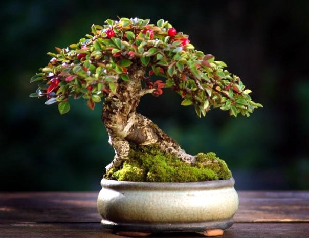 About your Bonsai