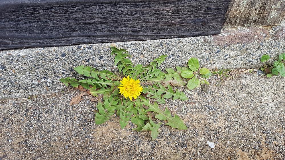 家に寄り添うようにたんぽぽが(笑)コンクリートの隙間から咲いて…
