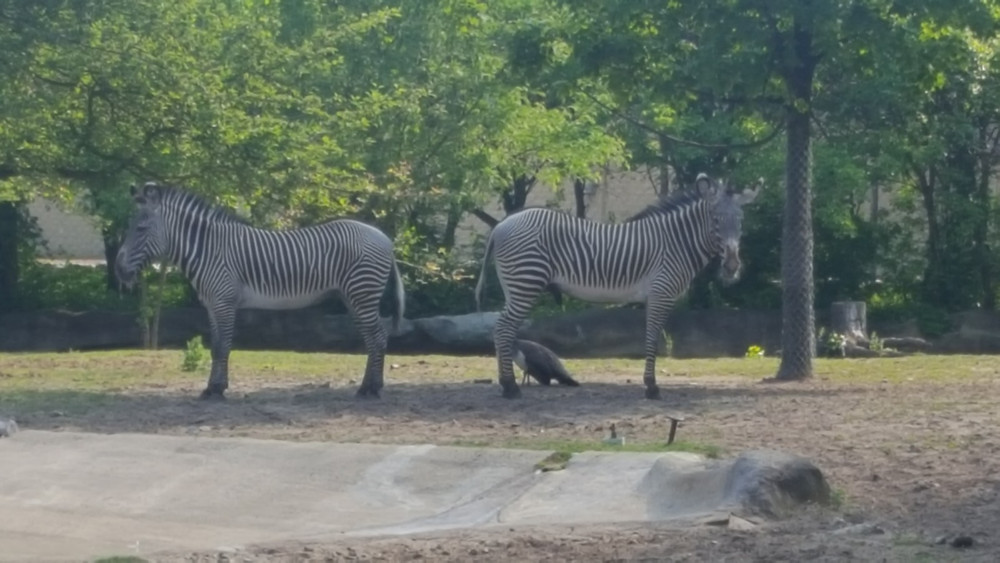 Zebras and the Sunset at the Zoo event, Detroit Zoo.
