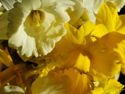 daffodils 2020