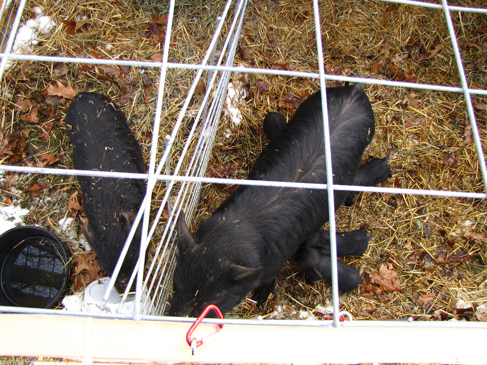 piglets 1 14 16 mom canon 024