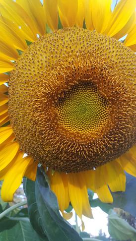 russian mammoth sunflower