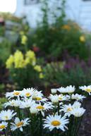 shasta daisies