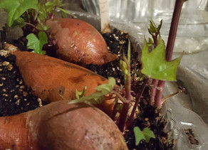 Sweet Success with Sweet Potatoes