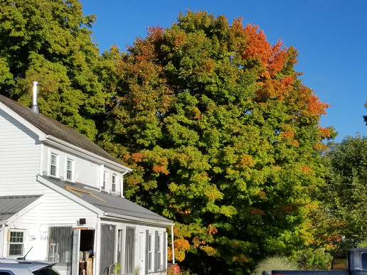 sugar maples in late September