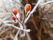rose hip in ice