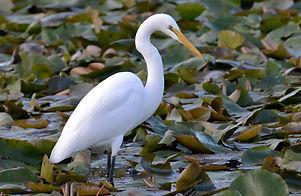 white-heron-DOC.jpg