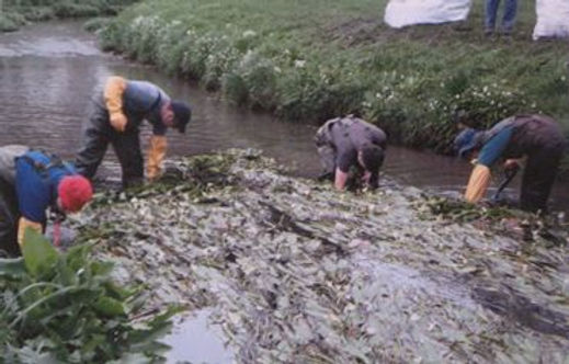 Digging out Cape Pondweed.jpg