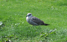 Black -backed gull young.JPG