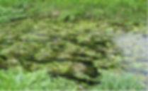 Cape pondweed.jpg