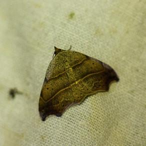 EOURRES : a la recherche des papillons de nuit