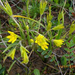 Gagées et Tulipe sylvestre, premières beautés printanières