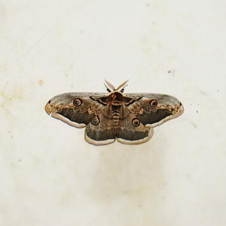 Inventaire et observation des papillons de nuit
