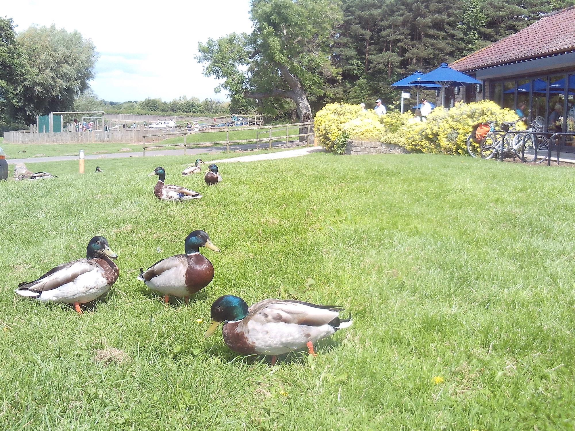Chew Valley Lake Ducks