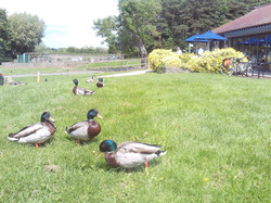 Chew Valley Lake Ducks