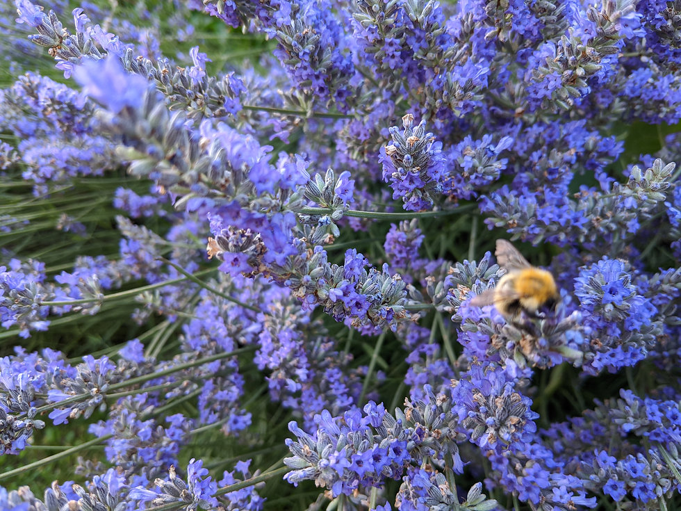 Juline Bees and Rosemary.jpg