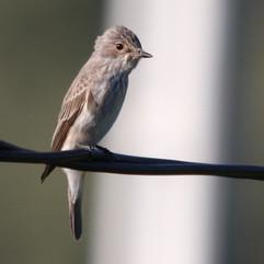 spottedflycatcher.jpg