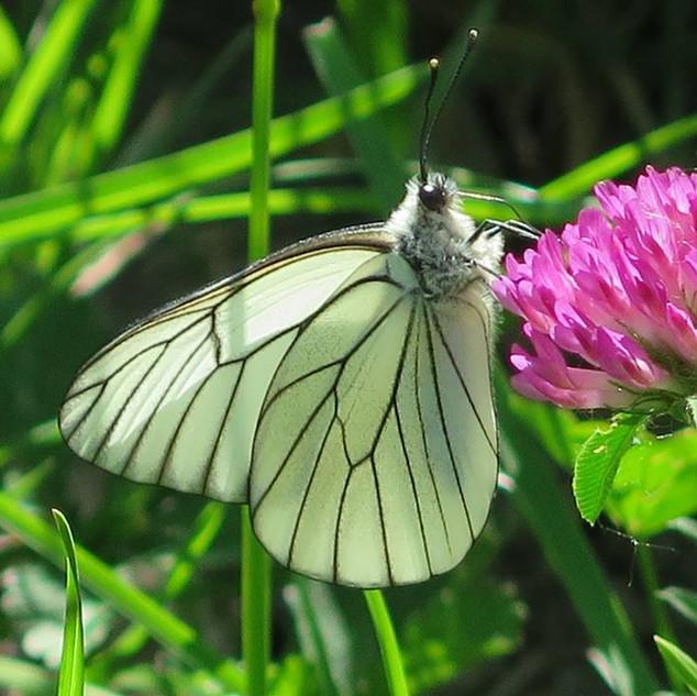 Black Veined White Aporia Crataegi