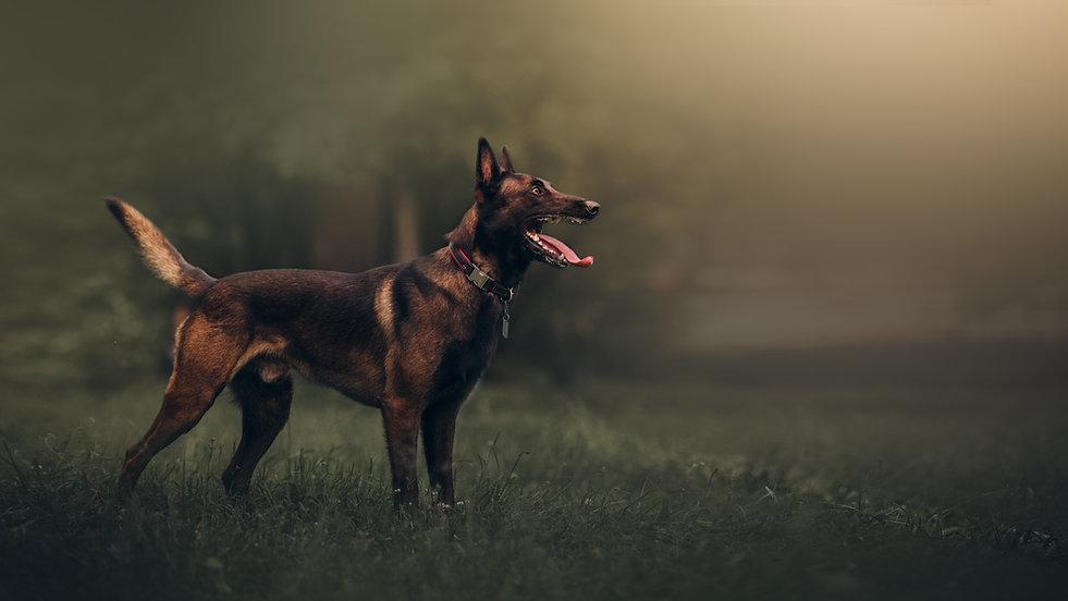 Beautiful Malinois Dog.jpg