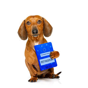 dachshund or sausage  dog on summer vaca