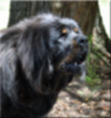 jangbu tibetan mastiff breeders australia - about tms