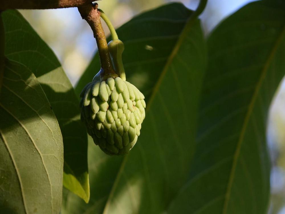 Fruta de Atemoia