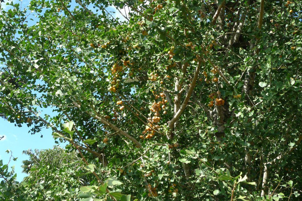 A planta de Ginkgo Biloba