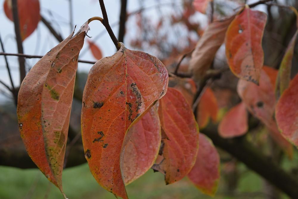 Folha de caqui vermelha