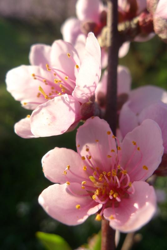 Florada de Pêssego