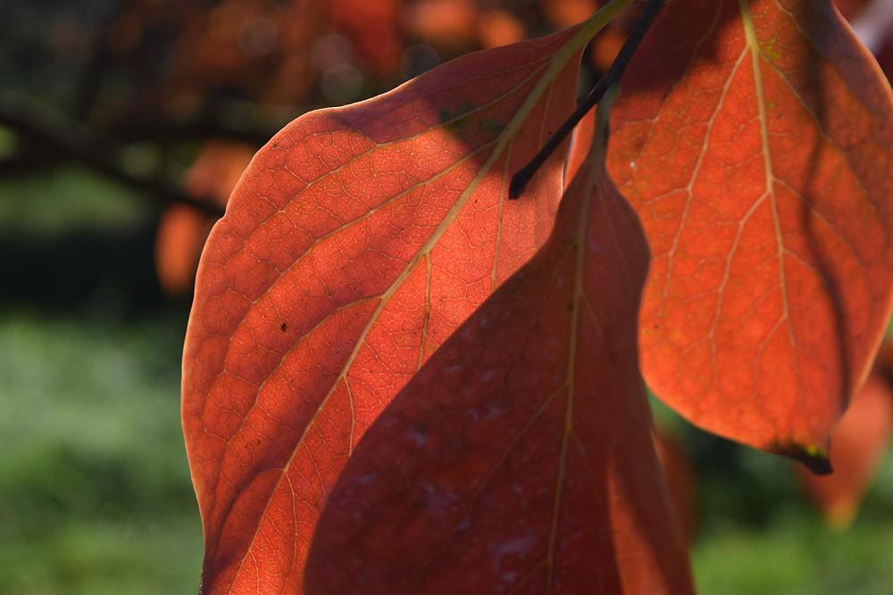 Folha do Caqui avermelhada