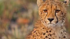Cheetah 3_jpg.jpg