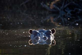 JLF hippo.jpg