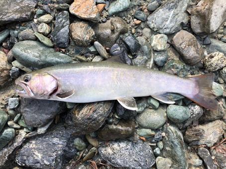 南信州 尺岩魚