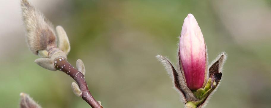 Magnolia_knop.jpg