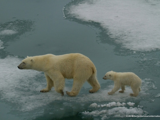 Polar Bears are Getting Thinner!