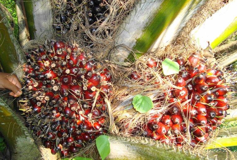 L'huile de palme BIO est-elle responsable ?