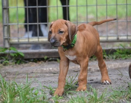 Rhodesia Ridgeback Breeder, Puppies for sale