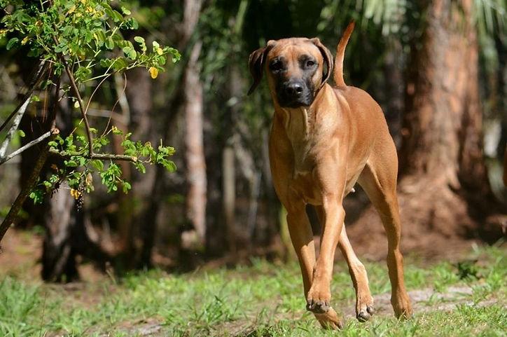 Ridgeback Breeder, Puppies for Sale