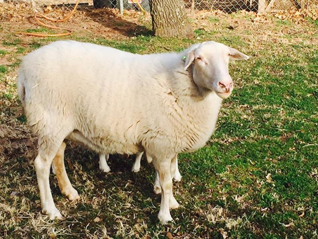 Losing an animal on the farm - saying goodbye to Verdee