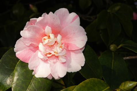 C. japonica 'Destiny'