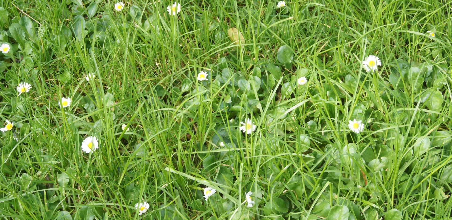 Lawn Daisy 2