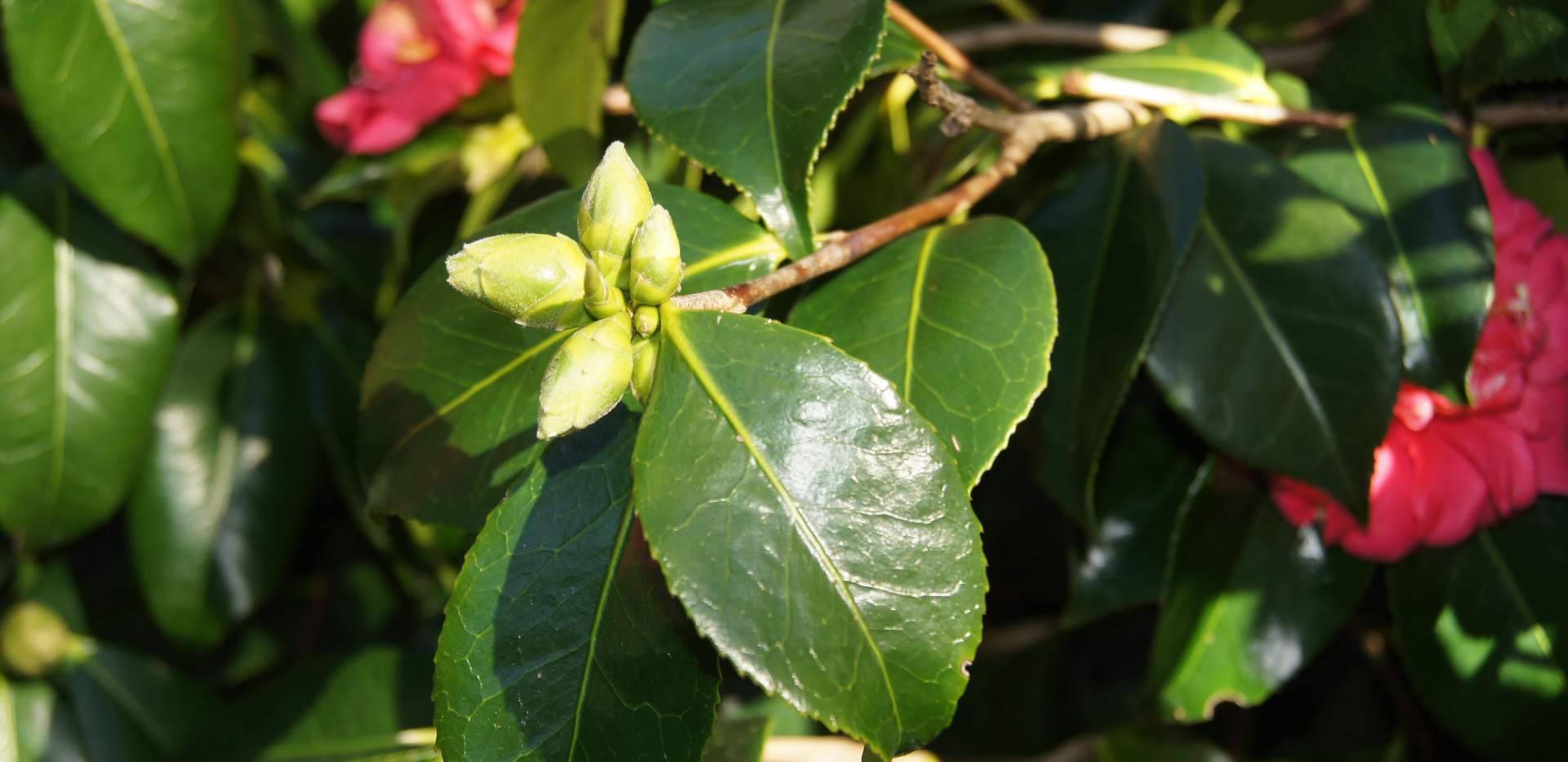 C. japonica 'Grandiflora Rosea'