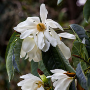 Magnolia doltsopa