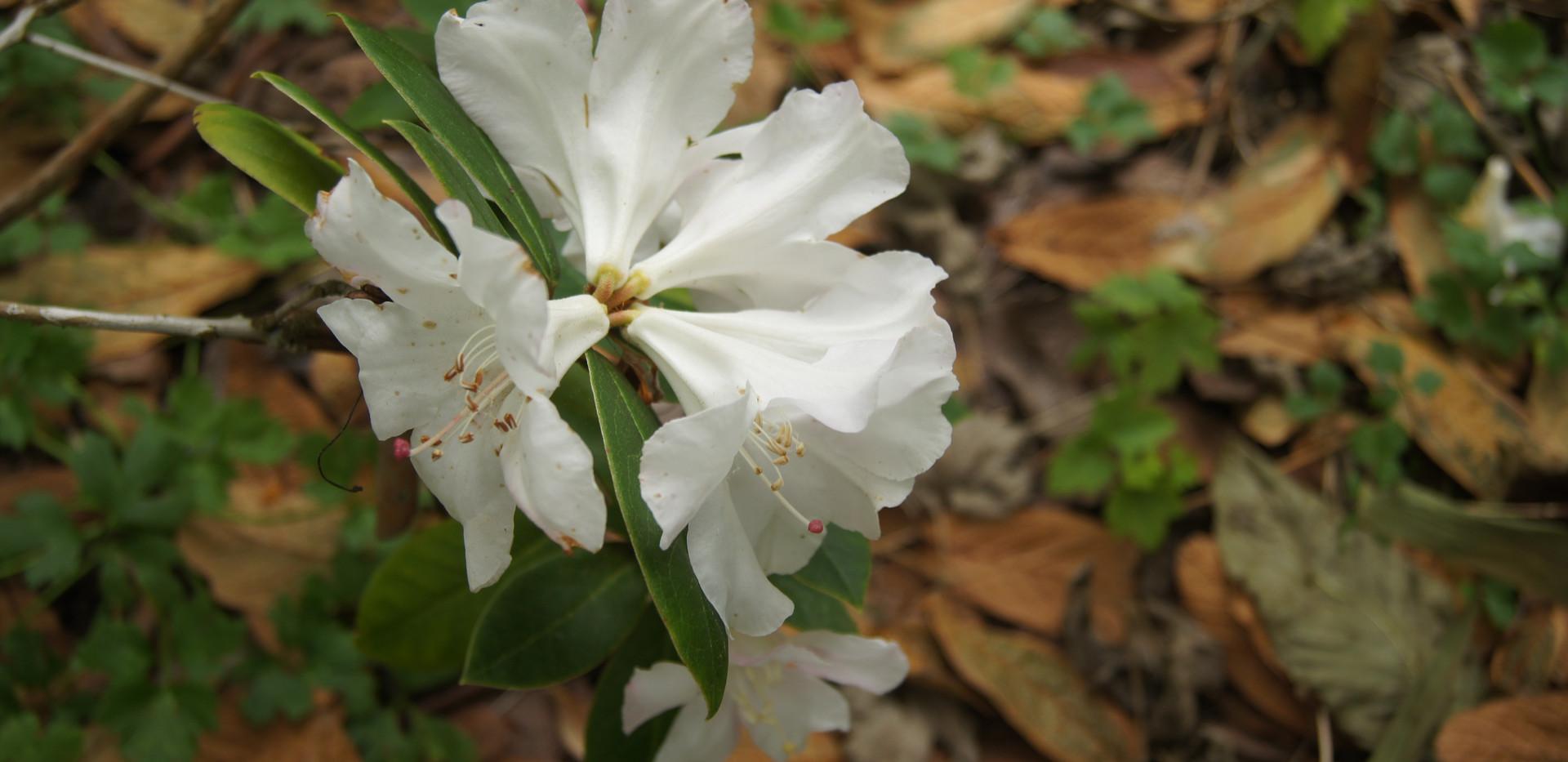 Rhododendron carneum
